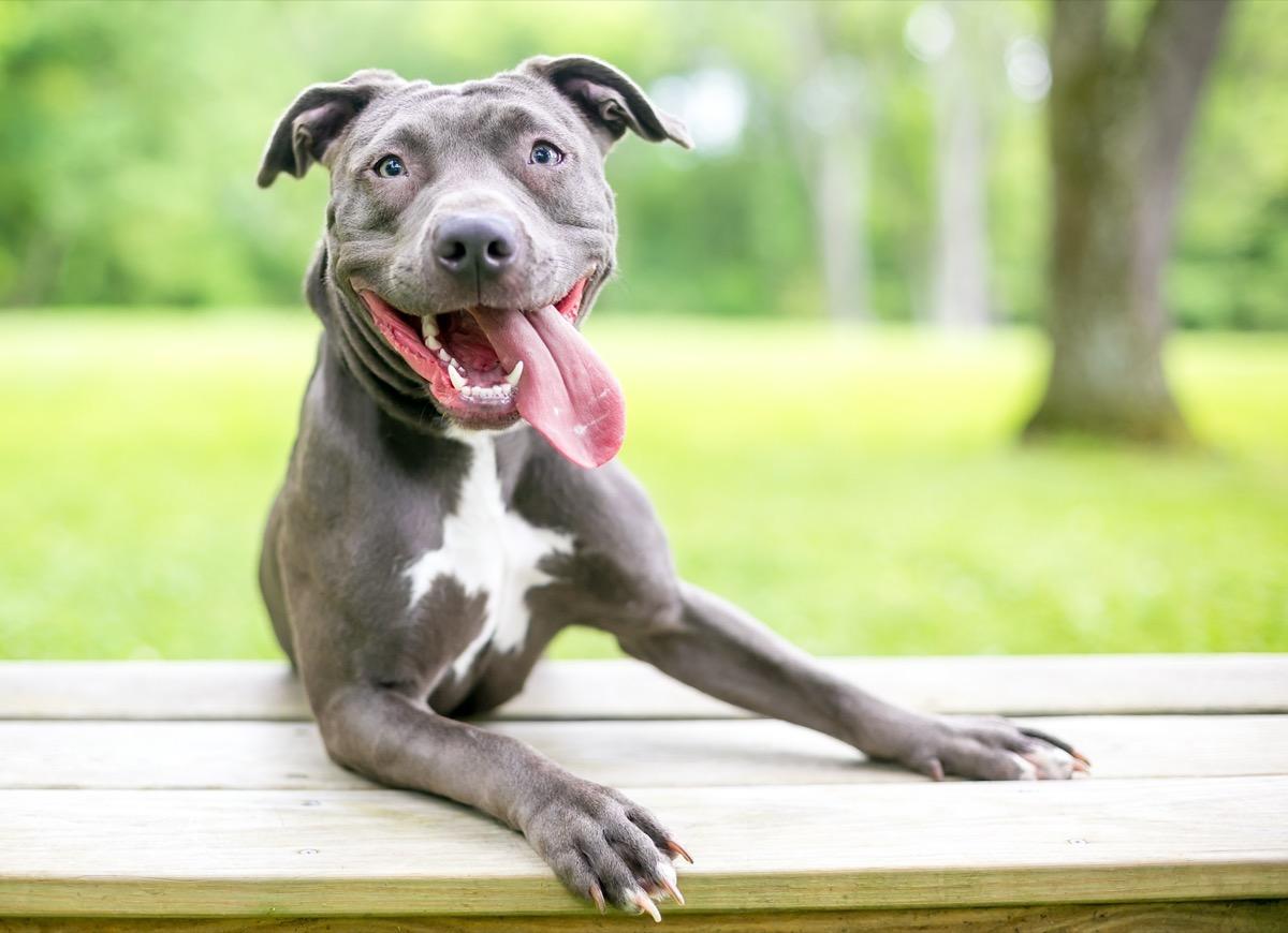 Pit bull smiling and panting