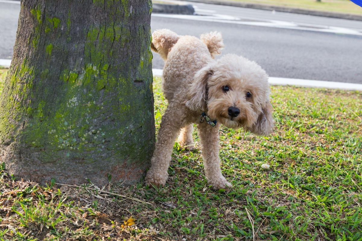 Poodle marking tree