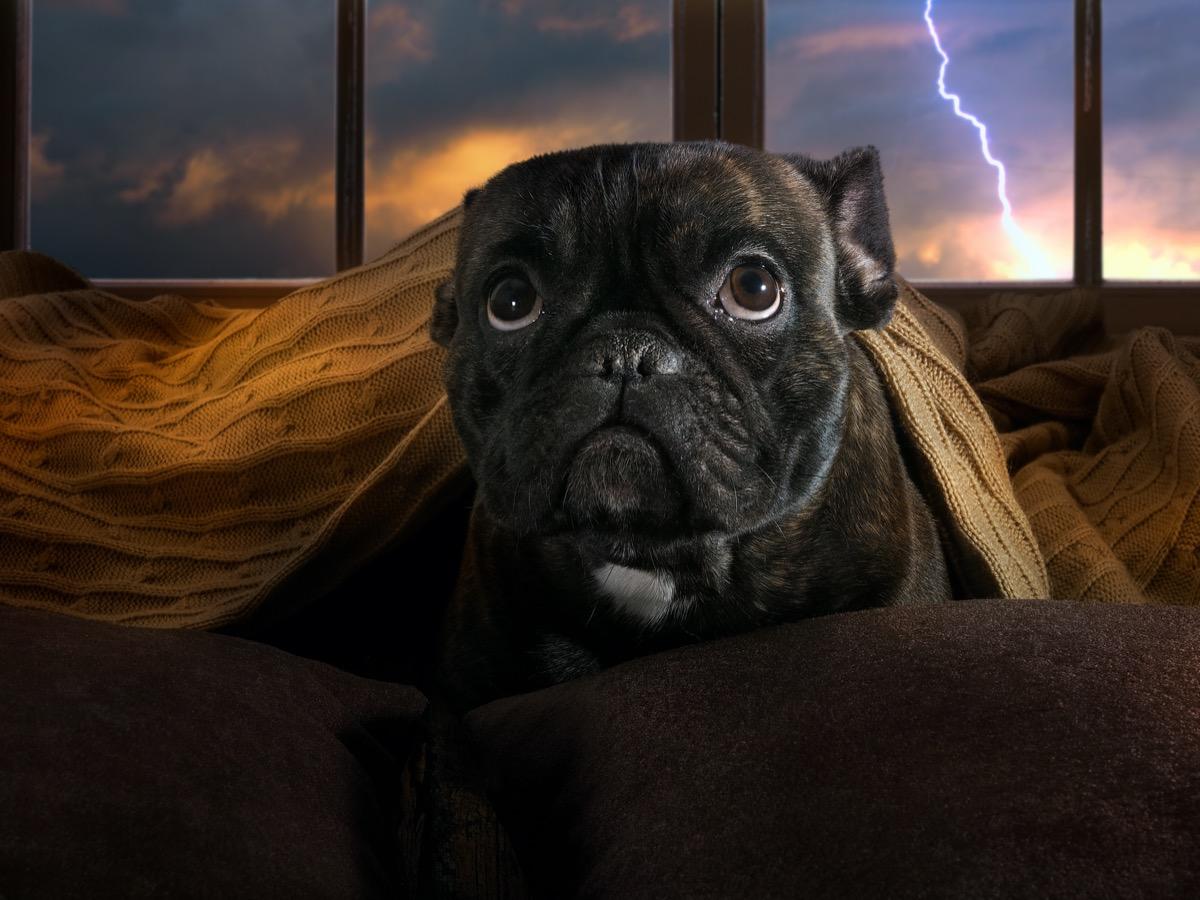 Pug hiding from storm