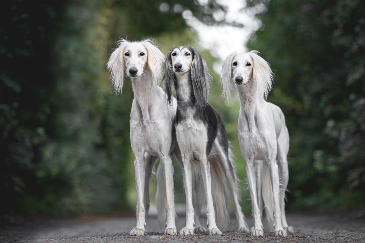 Tiga anjing Saluki