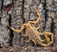 arizona bark scorpion on tree