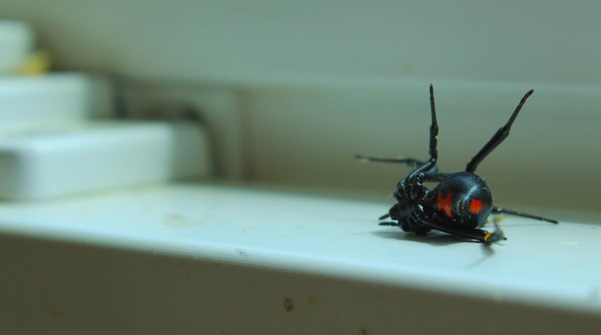 Close up of black widow spider on window