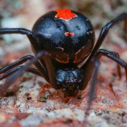 black widow spider outdoors