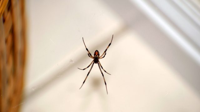 A snapshot of a brown widow spider hanging on its web near a basket inside my house.