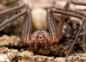 brown recluse spider outdoors