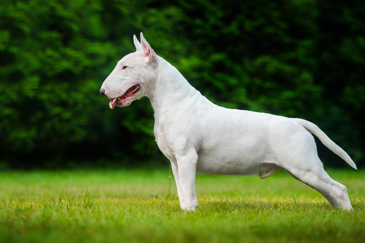 Terrier banteng
