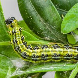 Box tree moth caterpillar