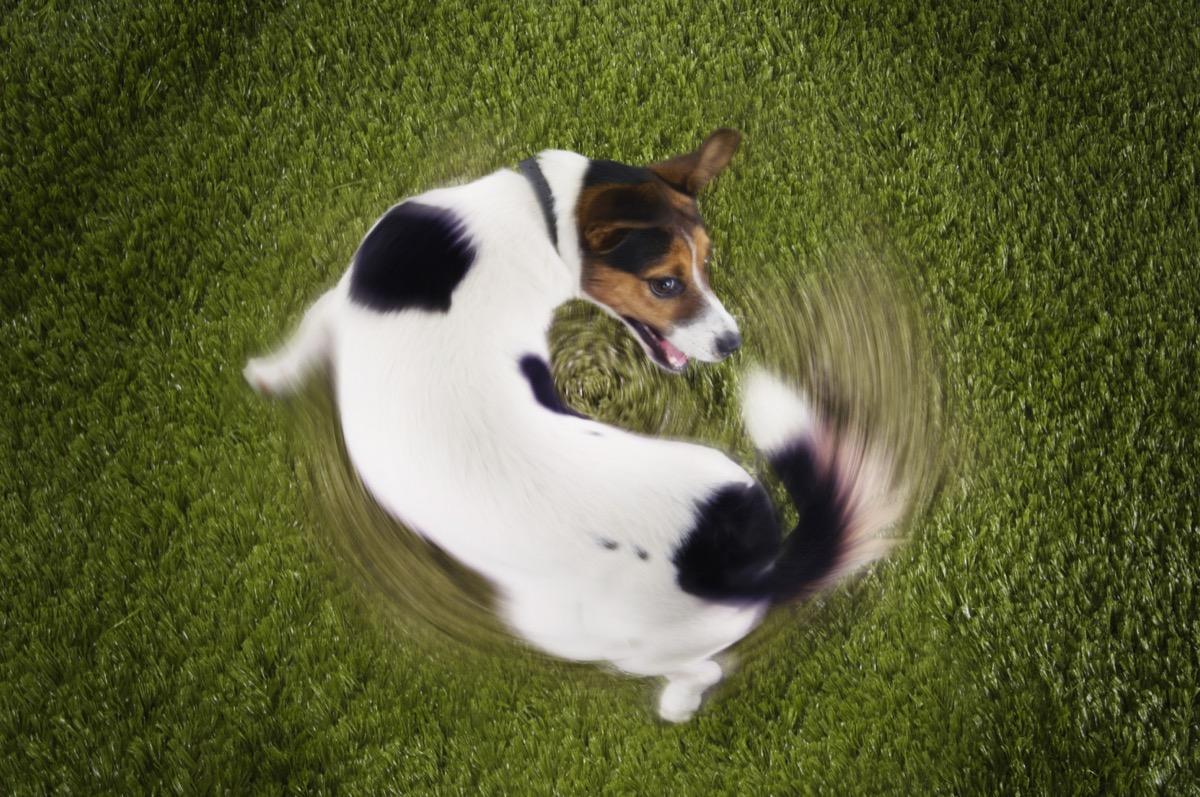 Jack Russell Terrier mengejar ekor