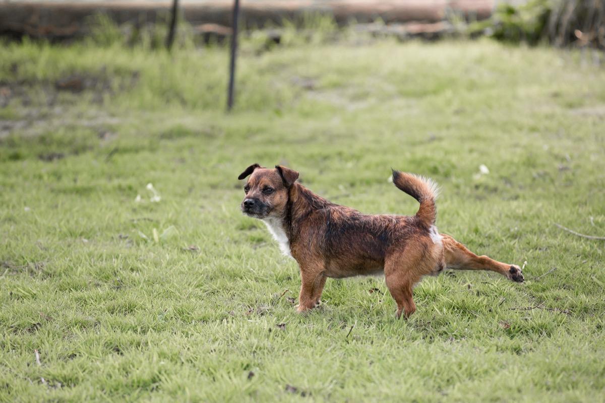 Anjing Border Terrier Cross menendang dengan kaki belakangnya