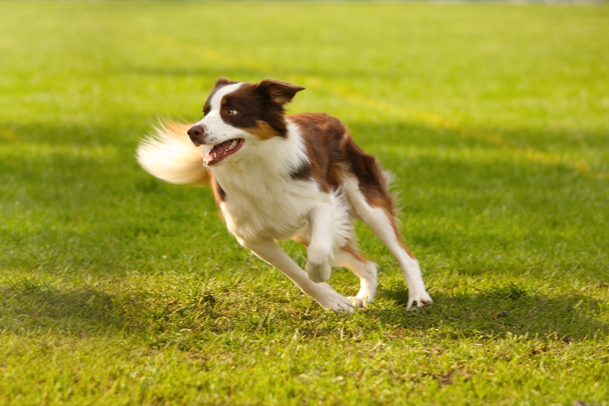 Anjing collie berlari melintasi rumput hijau