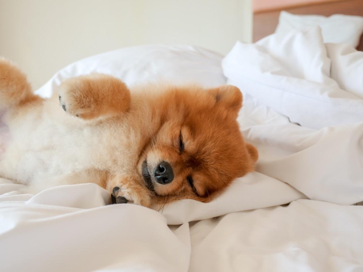 Anjing tidur di tempat tidur
