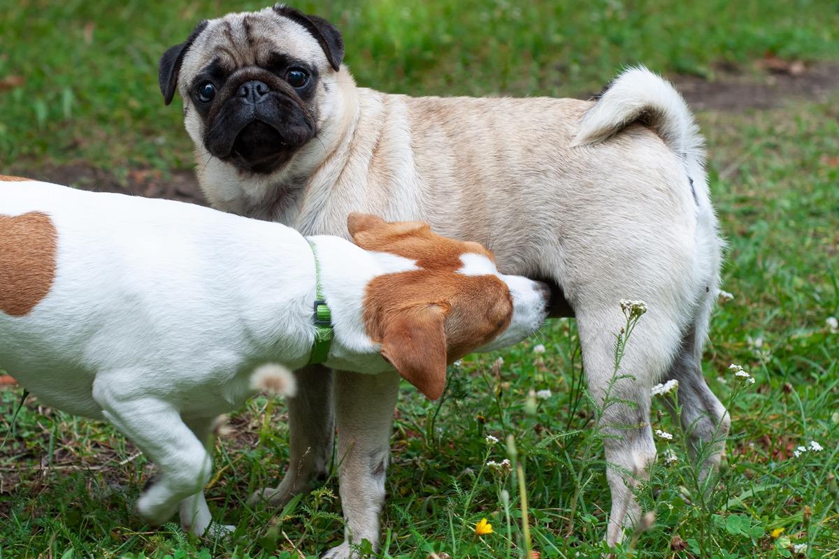 Jack Russel Terrier dan Pug saling mengendus