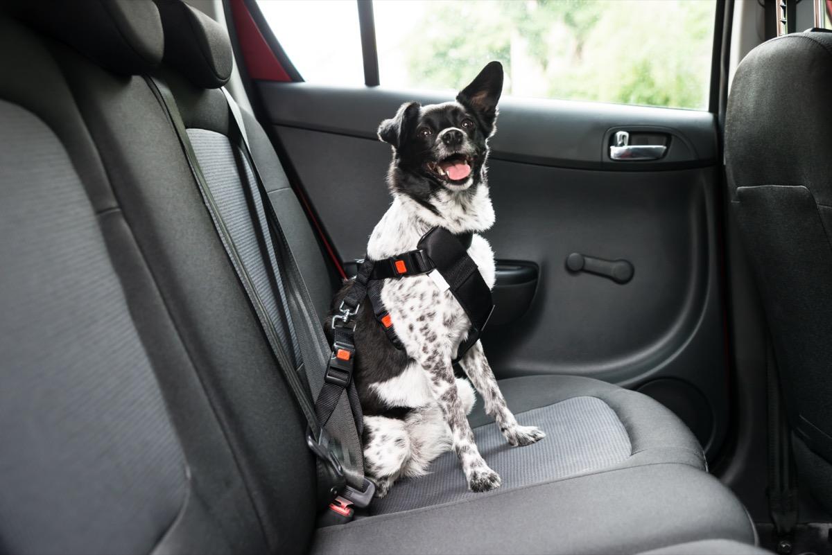 Anjing menjulurkan lidahnya saat duduk di dalam mobil