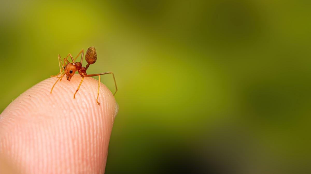 fire ant finger