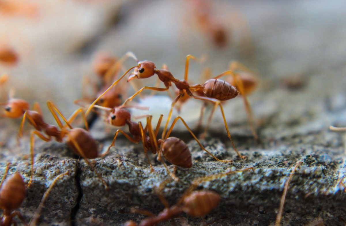 fire ants on piece of wood