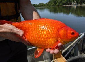 giant goldfish in the u.s.