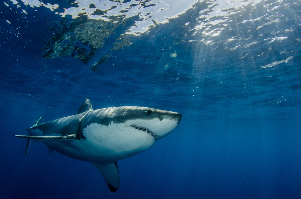 A large great white shark (Carcharodon carcharias) swims near the surface off the coast of Mexico.