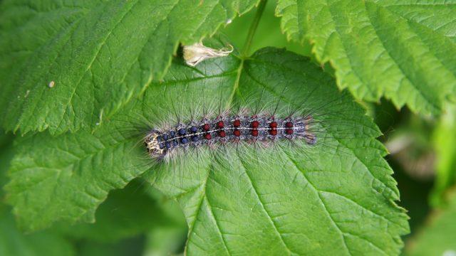 Gypsy moth (Lymantria dispar) on a raspberry leaf closeup