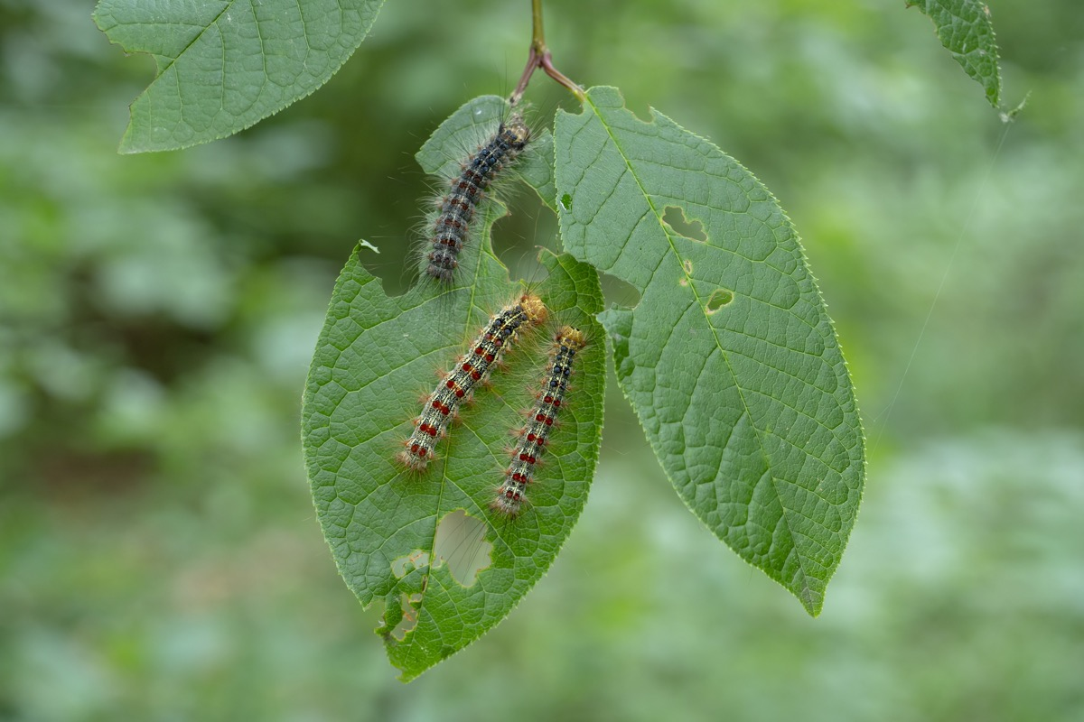 Gypsy moth caterpillar close-up. Foliage-eating caterpillars. Macro.
