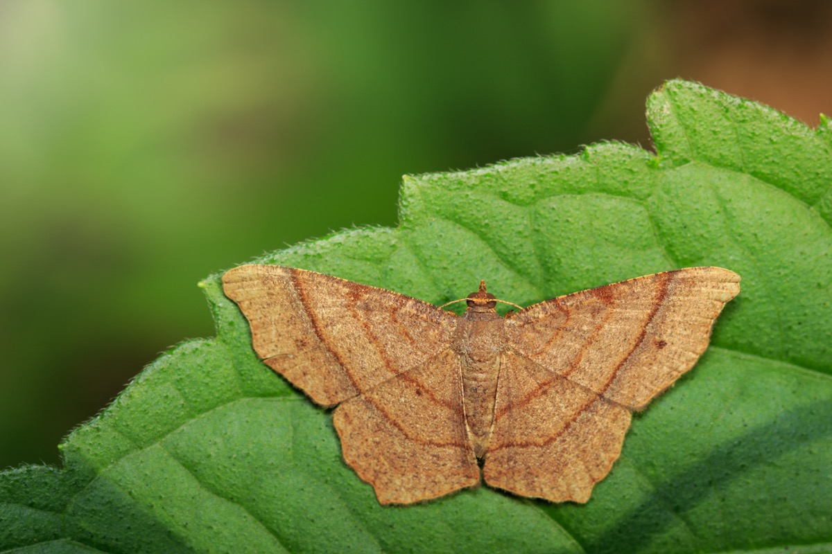 Image of brown butterfly(Moth) on green leaves. Insect. Animal.