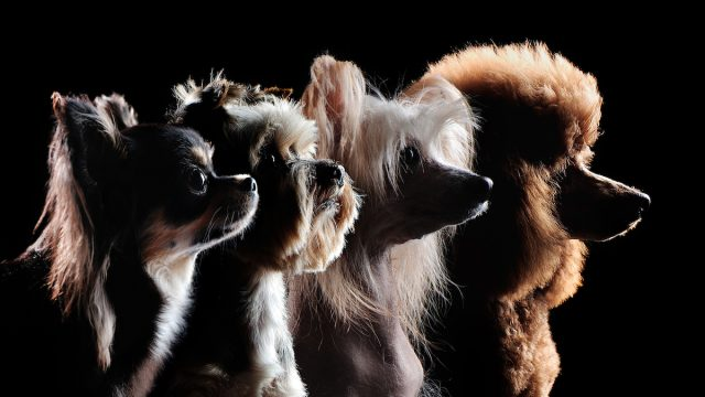 Silhouette of small dog breeds
