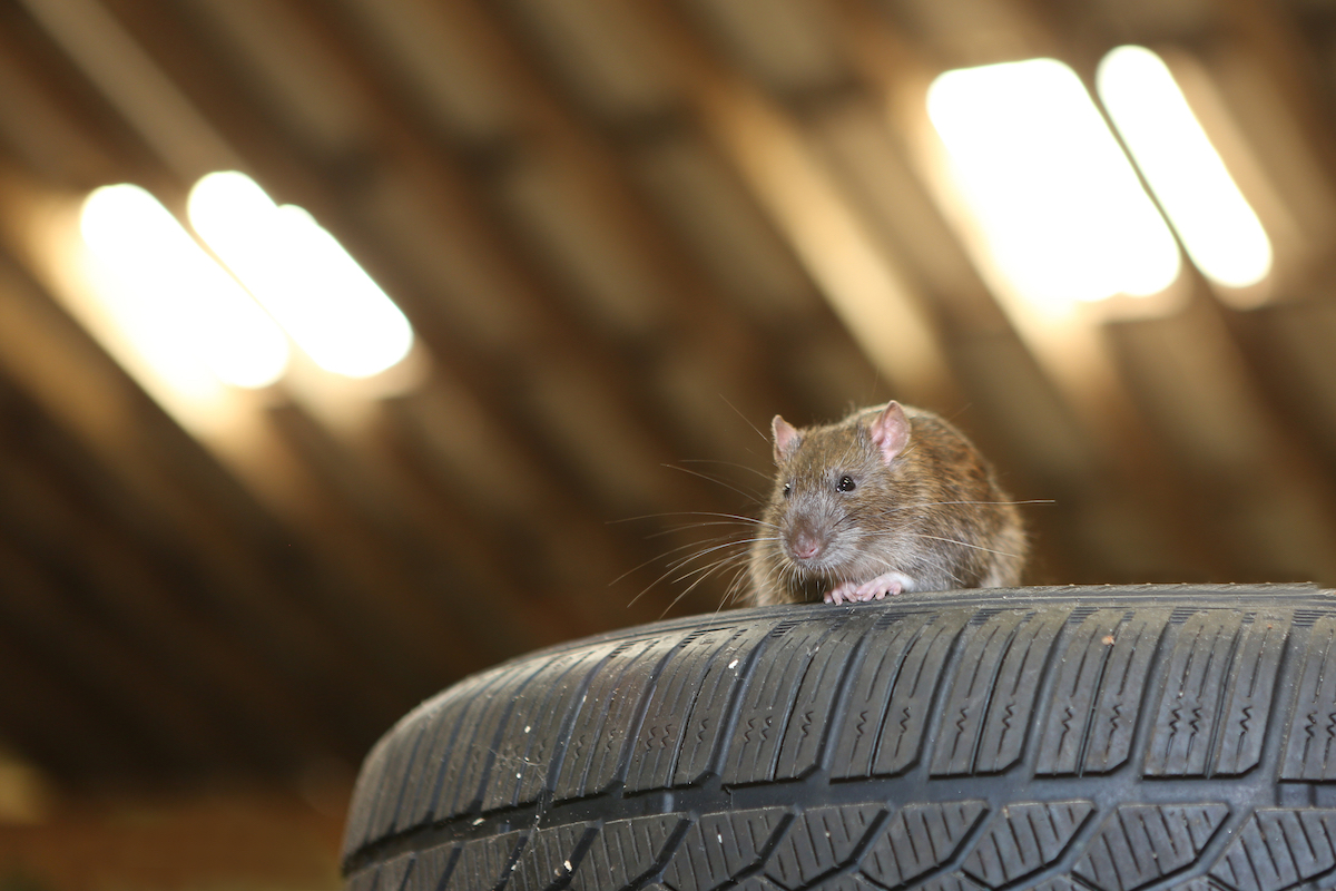 rat on car tires