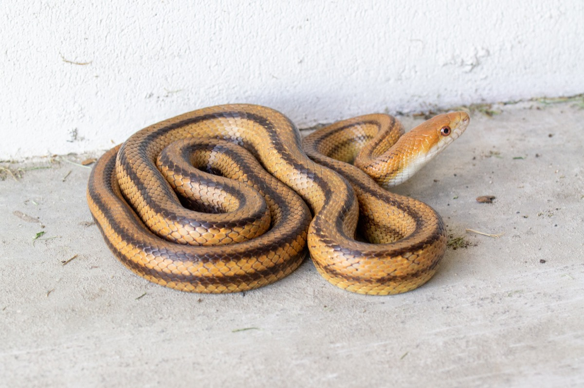 rat snake in a garage