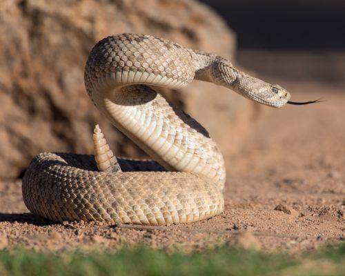 rattlesnake sticking out tongue