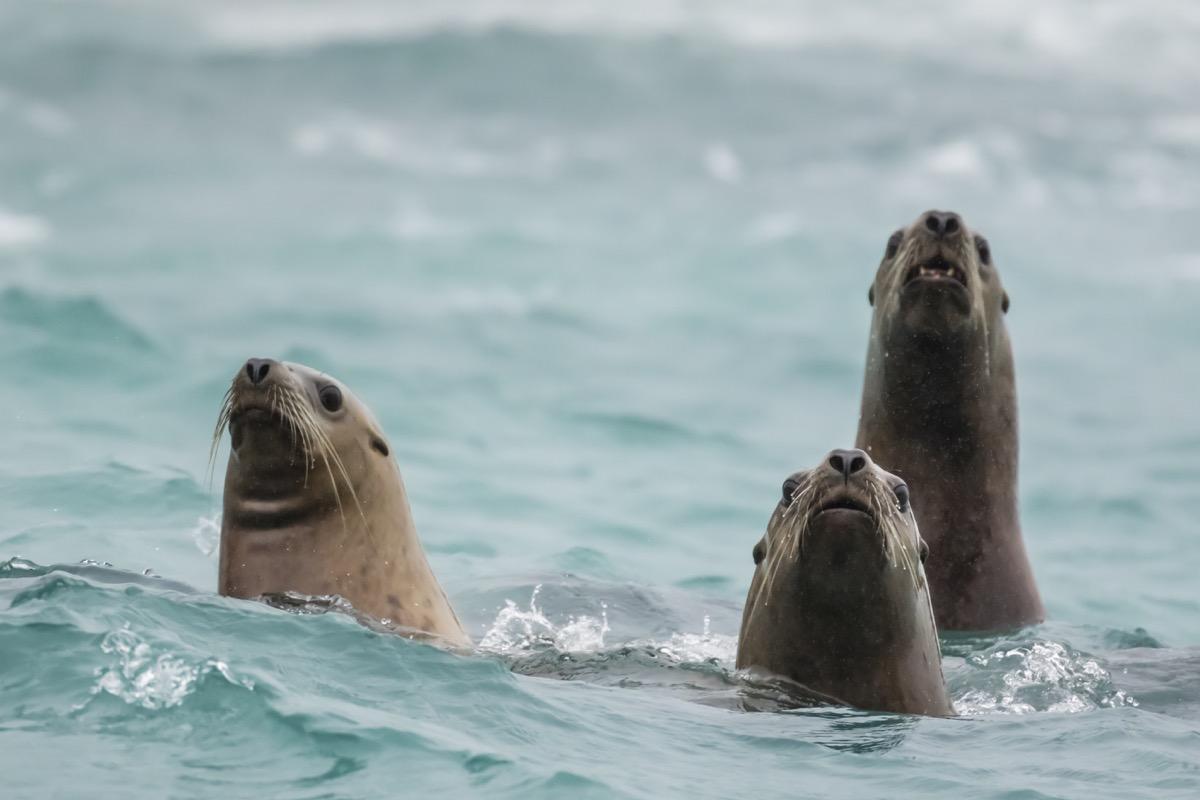 Steller sea lions (Eumetopias jubatus) in the ocean at the Inian Islands, southeast Alaska