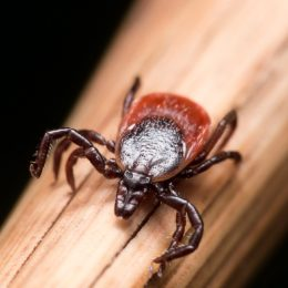close up of tick