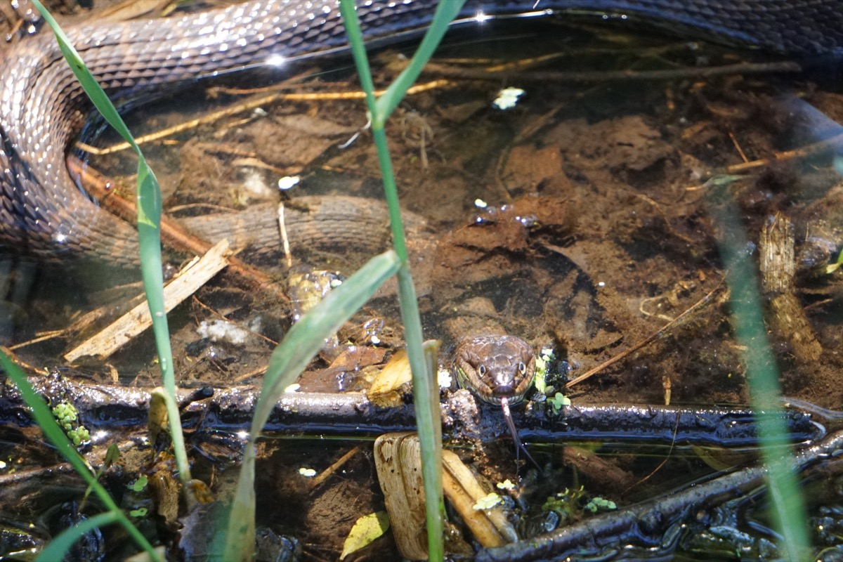 snake with its tongue out in marshy water and grass