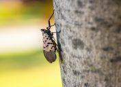 Closeup of spotted lanternfly infestation. Taken in Philadelphia, Pennsylvannia, October 2019