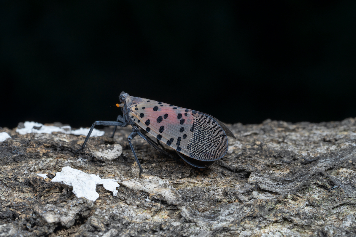 The spotted lanternfly (Lycorma delicatula) is a planthopper