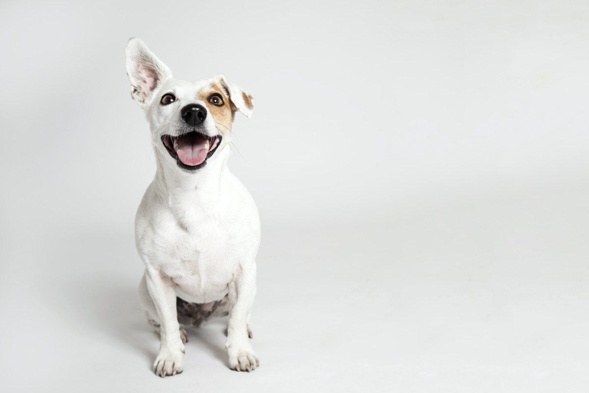 Terrier dog with one ear up and one down