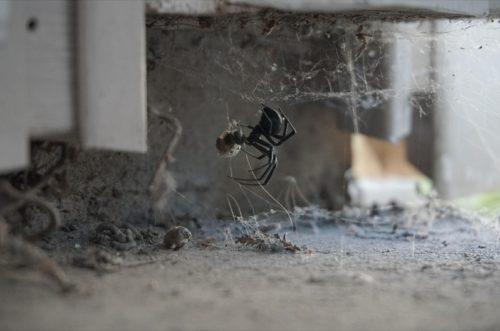 black widow spider under house