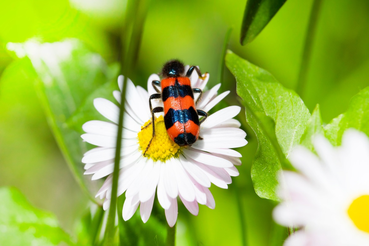 red and black striped blister beetle on daisy