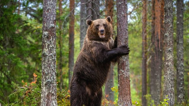 brown bear standing on its hind legs
