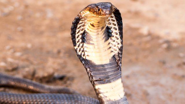 Cobra with hood up in defensive posture
