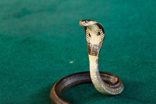 Royal cobra close-up with hood