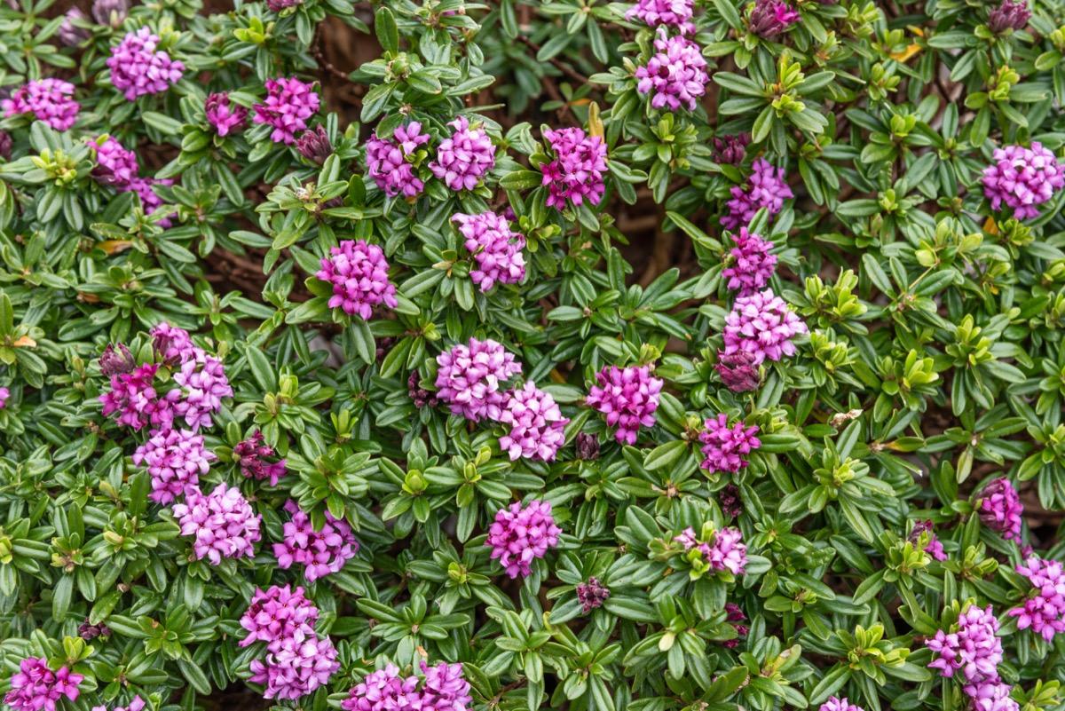 Semak Daphne dengan bunga ungu