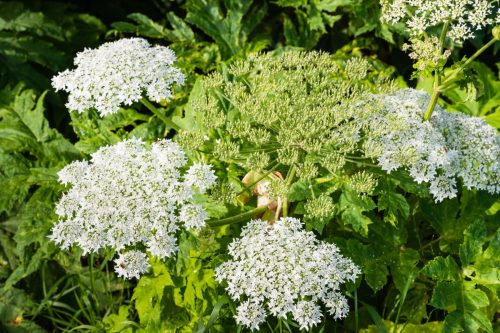 Close up of a white flowering giant hogweed or Heracleum mantegazzianum plant and its seed heads.