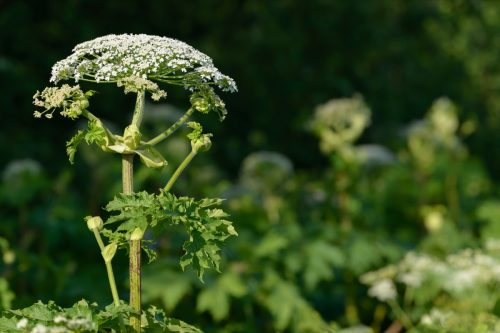 Giant allergic hogweed plant growing on the ground.  Poisonous Heracleum herb inflorescence.  Leaves and flowers of blooming hogweed.  Poisonous perennial herb in the meadow.