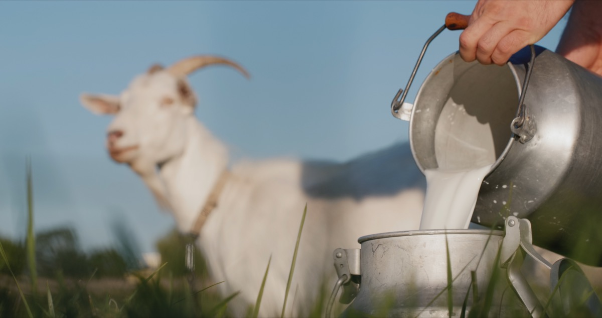 farmer pouring goat milk into a pail with goat in background