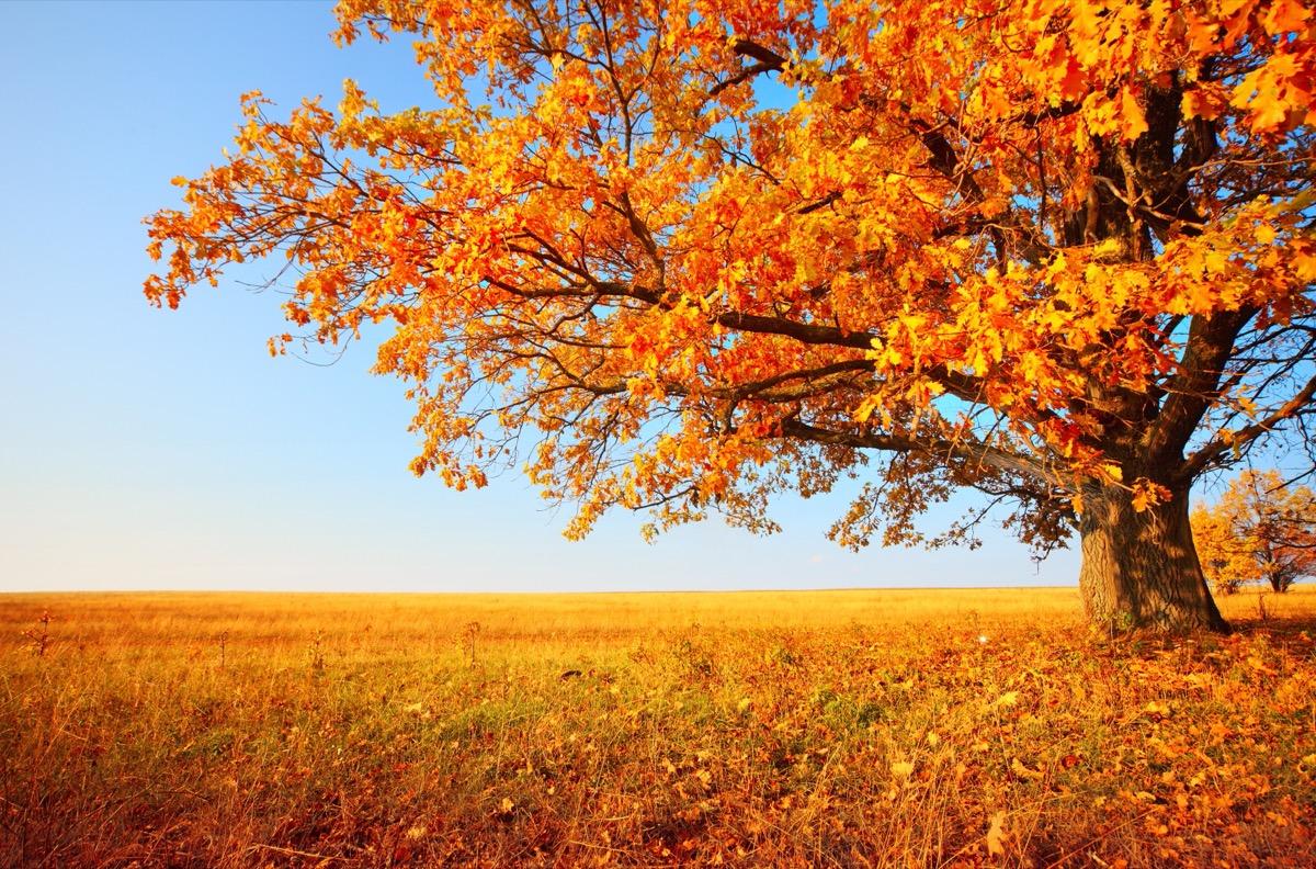 oat tree in a meadow in the fall