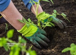 person wearing green gloves planting a seedling in the ground