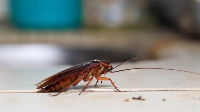 Roach