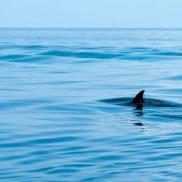 shark fin in the water