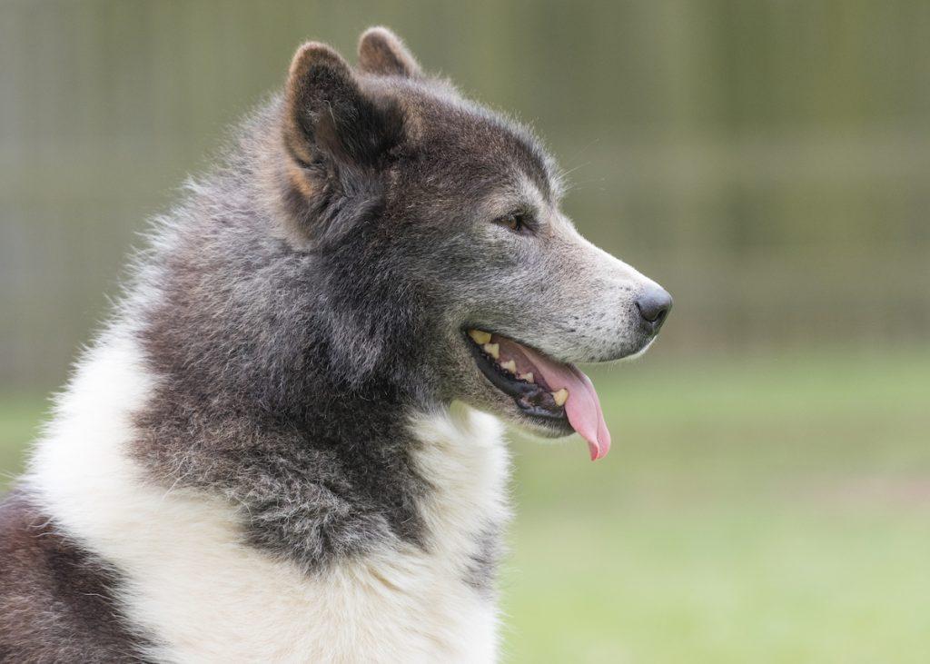 Anjing Eskimo Kanada