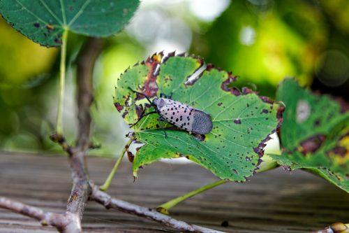 An adult Spotted Lanternfly (Lycorma delicatula) on a tree in Montgomery County, Pennsylvania.