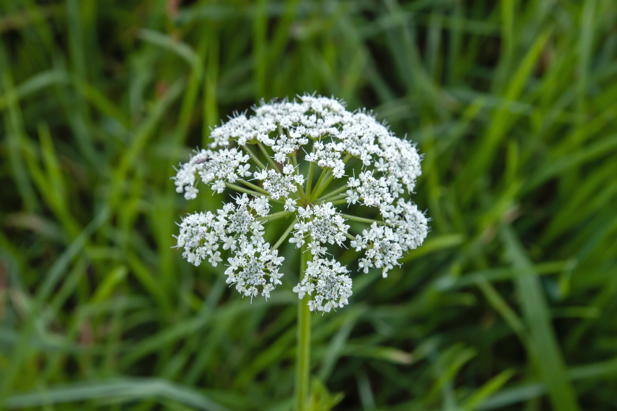 bunga putih di tanaman hemlock air
